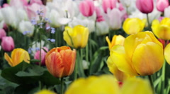 Close Up Of Bright yellow and red Tulips Swaying In The Wind Stock Footage