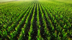Healthy corn rows by the light of the rising sun Stock Footage