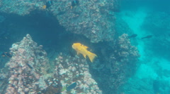 Harlequin wrasse at devil's crown near isla floreana Stock Footage