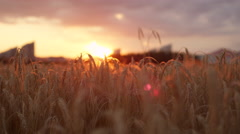 CLOSE UP: Golden sun shining through dry yellow wheat ear on agricultural field Stock Footage