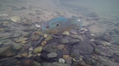Sunfish closup under water eating Stock Footage