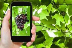Bunch of red grapes on smartphone Stock Photos