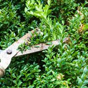 Cutting boxwood bushes by pruning shears Stock Photos