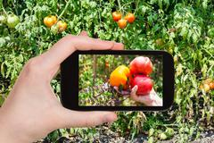 Harvesting of tomatoes in garden on smartphone Stock Photos