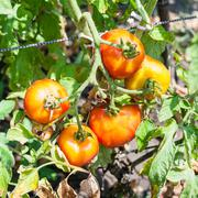 Red tomatoes on bush in garden in sunny day Stock Photos