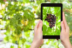 Bunch of red grapes on tablet pc Stock Photos
