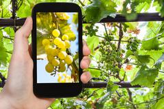 Bunch of yellow grape in vineyard on smartphone Stock Photos