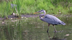 Great Blue Heron waling in pond. Stock Footage