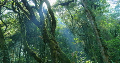 Beams and rays of sun light shine through forest canopy on mossy tree trunks Stock Footage