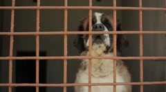St. Bernard dog in the aviary barks and wags its tail - stock footage