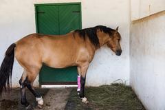 Horse with bandaged on injured leg Stock Photos