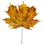 Detailed Fall Maple Leaf Stock Photos