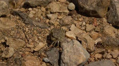 Common crab (Carcinus maneas) running to hide under large rock. Stock Footage