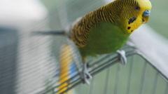 Parrot budgerigar closeup Stock Footage