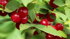 Colorful Korean  downy  mountain  Chinese bush cherry berries close up Stock Footage