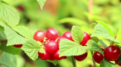 Korean  downy  mountain  Chinese  bush cherry berries close up panning Stock Footage