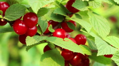 Korean  downy  mountain  Chinese  bush silken cherry berries close up Stock Footage