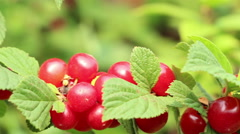 Korean sweet sunny downy  mountain  Chinese bush cherry berries panning Stock Footage