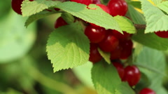 Red juicy  Korean  downy  mountain  Chinese bush cherry berries Stock Footage