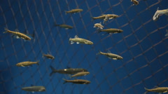 Flock of fishes slowly swims in reservoir with water Stock Footage
