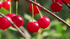 Red sweet sour cherry berries in the garden panning closeup Stock Footage