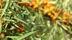 Sour seabuckthorn berries in the garden panning Stock Footage