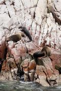 Colony Of South American Sea Lion - Ballestas Island Stock Photos
