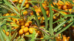 Sun fresh sour sea-buckthorn berries and leaves close up Stock Footage