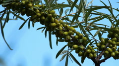 Unripe sea-buckthorn berries on the sky background close up Stock Footage