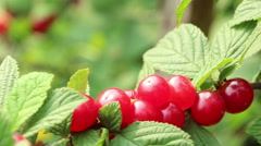 The downy  Korean Chinese bush silken cherry berries panning Stock Footage