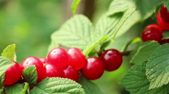The Nanking Chinese bush dwarf sweet silken cherry berries Stock Footage