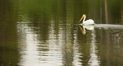 White Pelican Bird Swims Yellowstone Lake National Park Wild Animal Stock Photos
