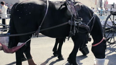 Black Horse With Rhinestones On It's Croup Eat From A Buckets On The Street Stock Footage