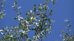 Australia flowering shrub against blue sky Stock Footage