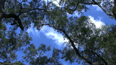 Australia gum tree branches and cloud Stock Footage