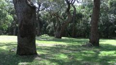 Australia old gum trees Stock Footage