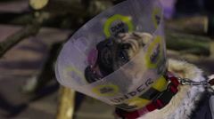 Unhealthy, sick and tired dog breathing heavily, unhappy pug wearing pet cone Stock Footage