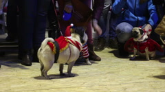 Group of pugs on leashes wearing festive costumes playing at Christmas party Stock Footage