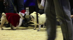 Dog owners boasting of their pets wearing creative canine costumes at pug show Stock Footage