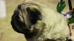 Nice wrinkly pug behaving nervously, scared puppy looking around, stressed dog Stock Footage