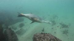 Australian Sealion Swimming Stock Footage