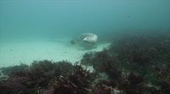 Australian Sealion Swims Throughframe Stock Footage