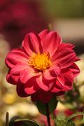 Red Dahlia flower called Fascination  in summer. - stock photo