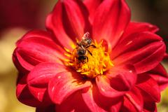 Red Dahlia flower called Fascination with a honeybee - stock photo