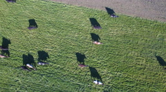 Herd of cows and shadows aerial view Stock Footage