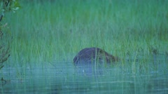Beaver swimming in grassy water Stock Footage