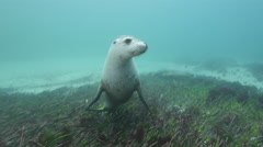 Australian Sealions Seagrass Playful Stock Footage