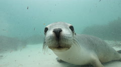 Curious Australian Sealion Stock Footage