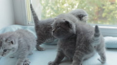 Blotched tabby kittens breed Scottish Fold Stock Footage