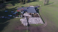 Sheep flock in shearing shed aerial view Stock Footage